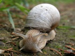Helix pomatia